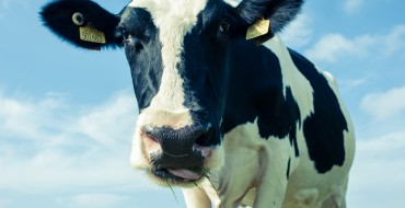 Trewithen Dairy: Healthy, Happy Cows